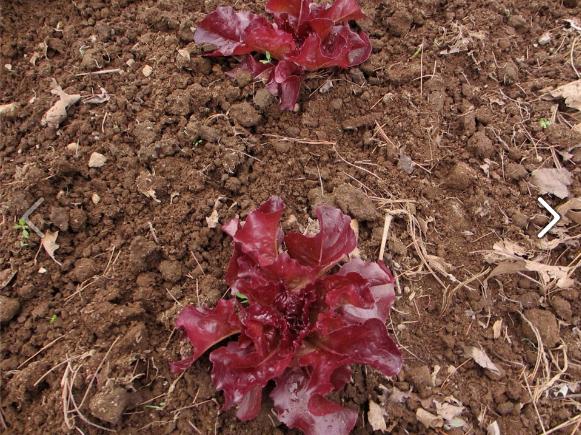 Red crisphead lettuce