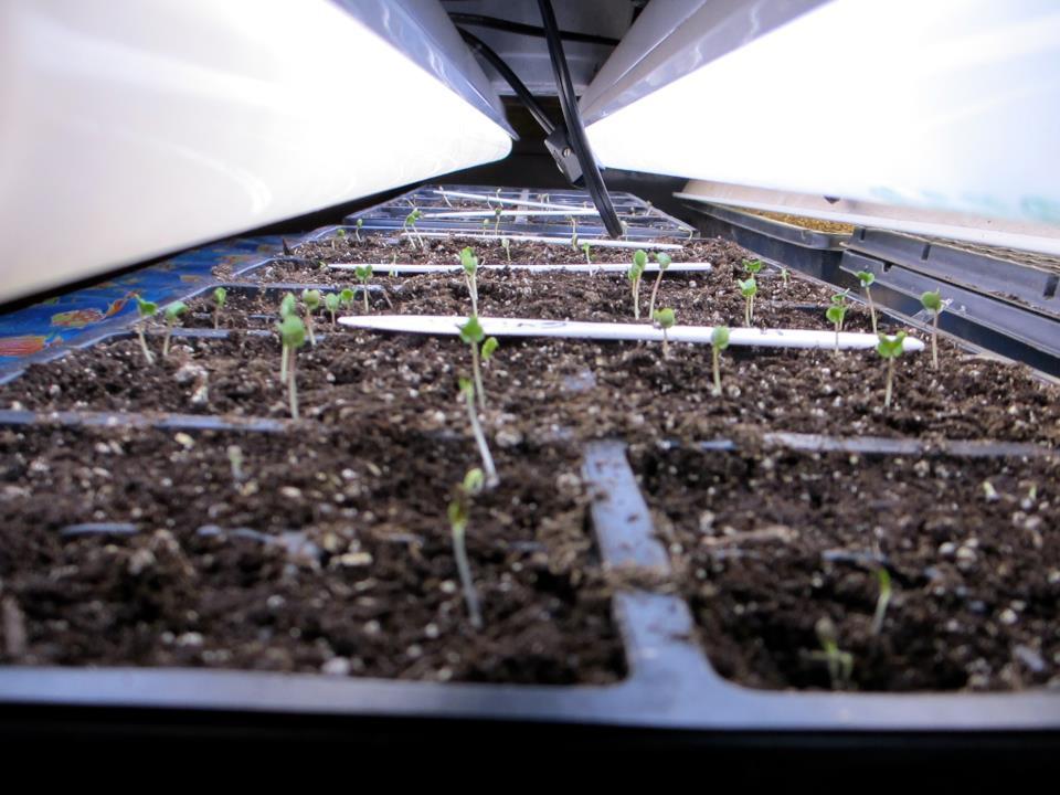Broccoli and lettuce seedlings under lights - Feb 19, 2012