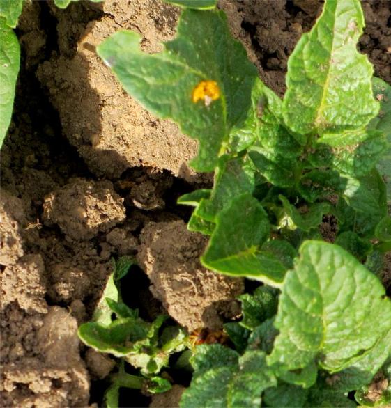 2012 Jun 16 Colorado Potato beetle
