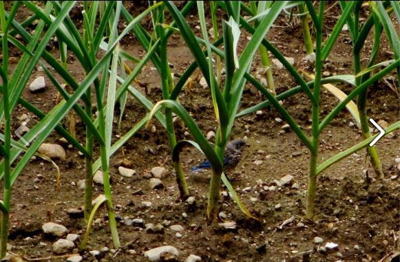 2012 Jun 26 Baby bluebirds in the garlic