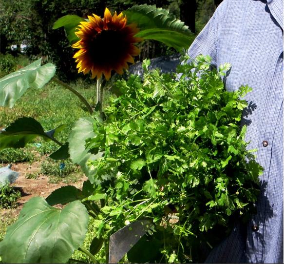 2012 Jul 30 armful of cilantro