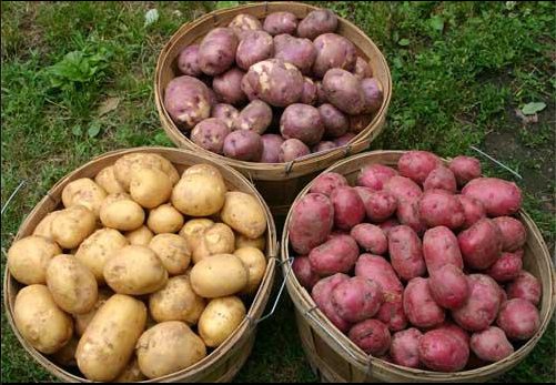 2012 Sept 04 Potato Harvest