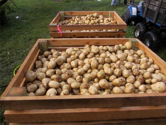 2012 Sep 22 potato harvest 3650 pounds